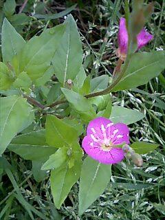 休耕田で咲く花