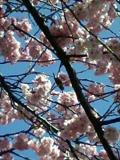椿寒桜とメジロ