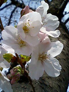 ご近所の公園〜開花宣言