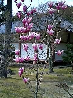 智積院の木蓮