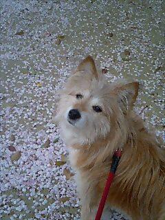 桜吹雪の下で