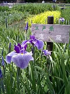 山田池〜花菖蒲