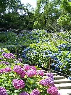 紫陽花〜山田池