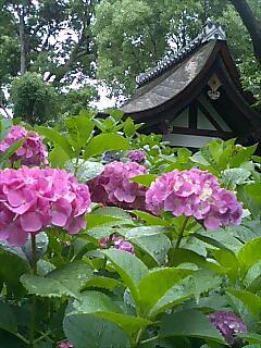 藤森神社紫陽花苑