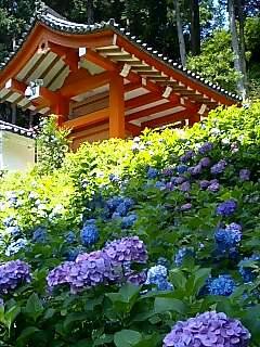 まだまだ元気、三室戸寺の紫陽花