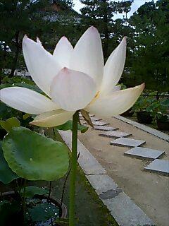 萬福寺の蓮
