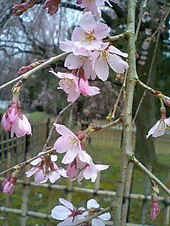 御所の桜事情