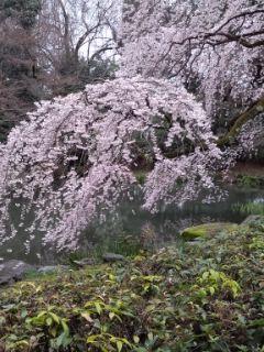 駆け足桜巡り